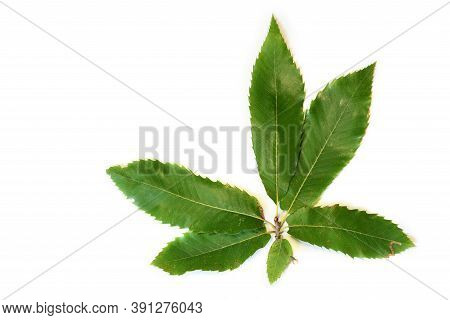 Green Leaves Of Chestnut Isolated On White.