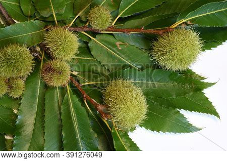Green Leaves Of Chestnut With Curls Isolated On White.