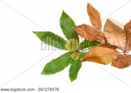 Fresh Green And Dry Leaves Of Chestnut Tree With Curls Isolated On White.