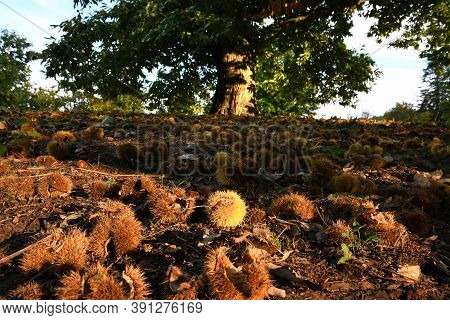 Autumn. Chestnut Forest In The Tuscan Mountains. Hedgehogs And Chestnuts Fall To The Ground. Time Fo