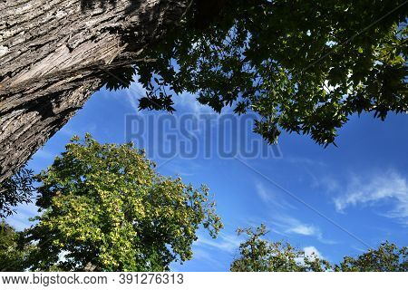 Chestnut Forest On The Tuscany Mountains Against The Blue Sky. Autumn Season. Shot From Below. Italy