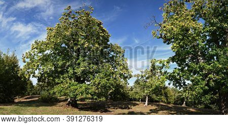 Beautiful Chestnuts Forest In Tuscany. Autumnal Season.