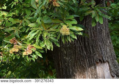 Chestnuts In Hedgehogs Hang From Chestnut Branches Just Before Harvest, Autumn Season. Chestnuts For