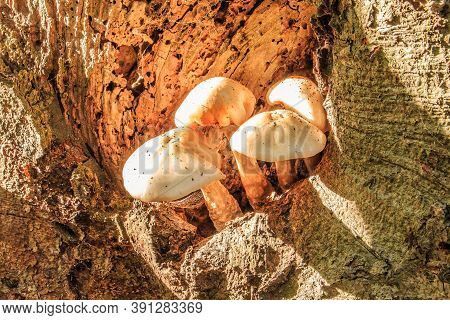Several Oyster Mushrooms Grow From A Knothole On A Deciduous Tree Trunk. Mushrooms With White Mushro