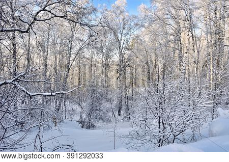 Frozen Birch Forest With Fresh Fluffy Snow And Hoarfrost Covered At Sunny Day With Blue Clear Sky -