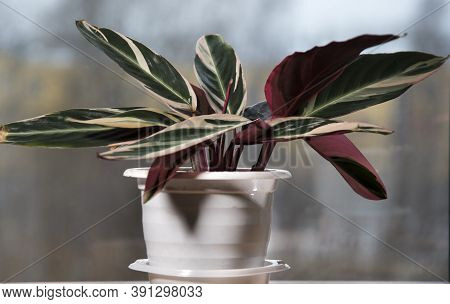 Stromanthe flower with red, green and yellow leaves on the window sill, potted flower