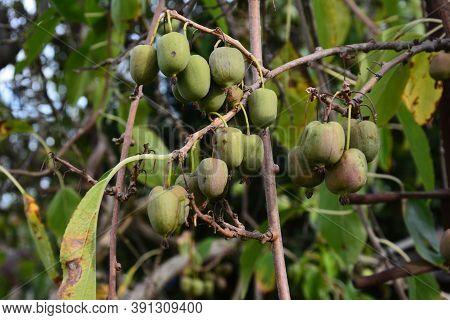 Actinidia Arguta With Hardy Kiwifruit/actinidia Arguta, The Hardy Kiwi At Its Point Of Maturation