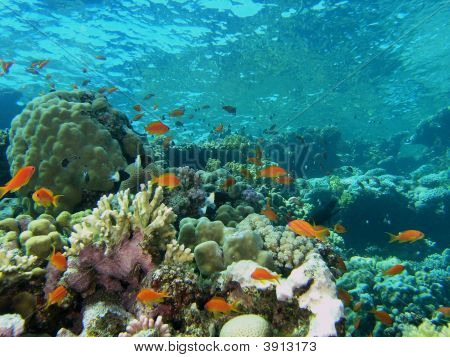 Coral and reef scene in the red sea poster