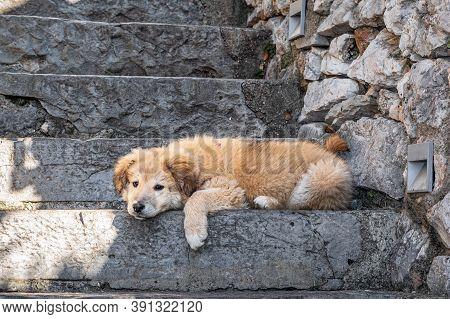 Close Up View Of A Yellow Puppy Looking Sad. Kangal Shepherd Dog.