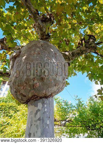 Burl On The Tree Trunk. London Plane Tree. Platanus Hispanica.