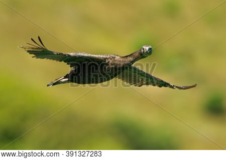 Bronze Shag (phalacrocorax Chalconotus), Also Stewart Island Shag Or Stewart Shag, Species Of Shag E