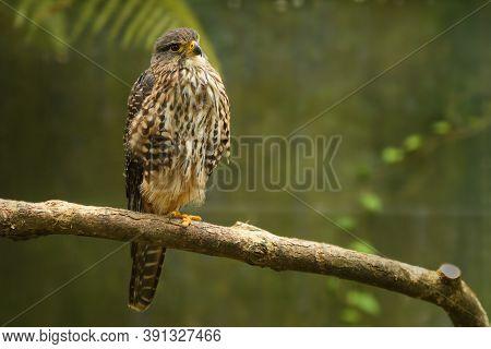 New Zealand Falcon - Falco Novaeseelandiae - Karearea Bird Of Prey From New Zealand, Also Called Bus