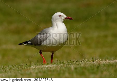 Red-billed Gull - Chroicocephalus Scopulinus Also Mackerel Or Dolphin Gull, Native Of New Zealand, M