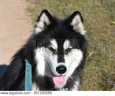 Beautiful Day With A Picture Perfect Alaskan Malamute Dog.