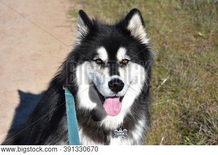 Fluffy Alaskan Malamute Dog On A Warm Day.