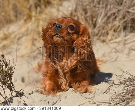 Cavalier King Charles Laid Down In The Sand On A Beach