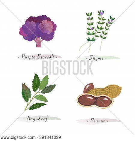 Watercolor Healthy Nature Organic Plant Vegetable Food Ingredient Purple Brocoli Thyme Bay Leaf Pean