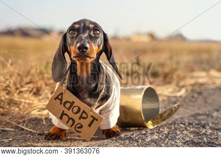 Poor Dachshund Puppy In Dirty Old T-shirt With Cardboard Sign Around Neck That Says Adoption Sits On