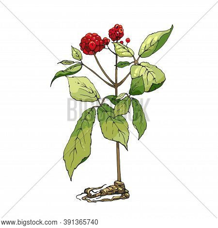 Root And Leaves Panax Ginseng. Vector Hatching Color Vintage Illustration Of Medicinal Plants For Tr