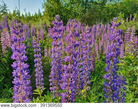 Lupinus / Lupine Field With Pink Purple And Blue Flowers. Bunch Of Lupines Summer Flower Background