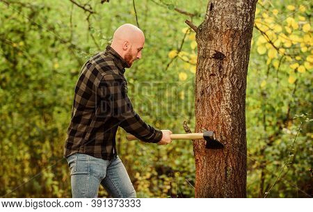 Bearded Hipster Cut Tree. Man Checkered Shirt Use Axe. Brutal And Attractive Male In Forest. Power A