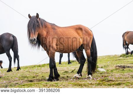 Team Of Wild Horses Eating Grass In Galicia On A Foggy Day.