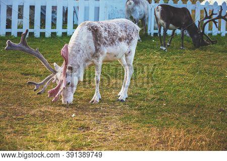 Reindeer Graze Near The Fence. Reindeer In Northern Norway