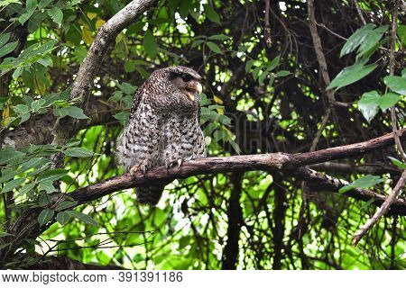 Spot-bellied Eagle Owl Bird Sitting On The Tree In Nature, Thailand