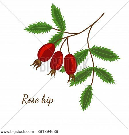 Rosehip Illustration, Isolated On White. Rose Hip Berry Branch Sketch. Dog-rose Hand Drawn Vector. C