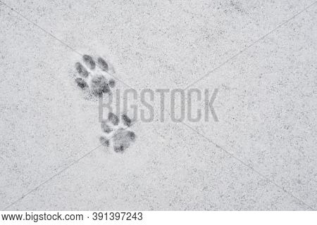 Cat's Paw Print In The Snow. Traces Of Cat's Feet In The Snow. Traces Of Animals In Snow