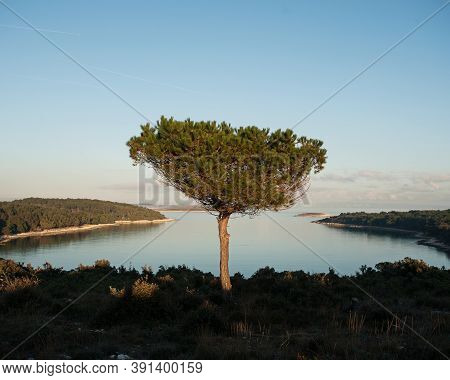 Solitary pine tree on high seashore. Solitude and tranquility concept.