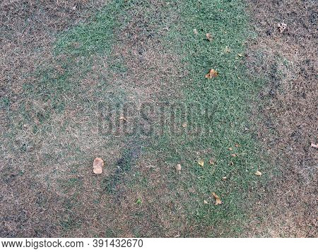 Burnt Grass In The Garden. Dryness Damaged Grass During Lack Of Water