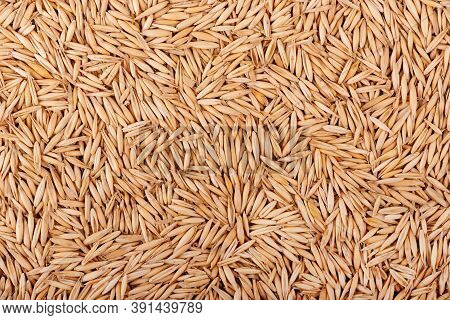 Unpeeled Oat Grains, Background. Organic Dry Oat Seeds.