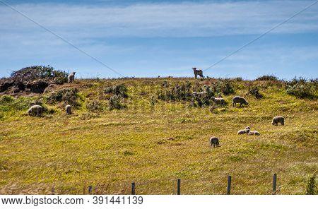 Riesco Island, Chile - December 12, 2008: Posada Estancia Rio Verde Working Farm. Herd Of Small Lamb