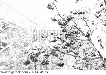 Winter Nature Concept. Frozen Food. Seasonal Berries. Christmas Rowan Berry Branch. Hawthorn Berries