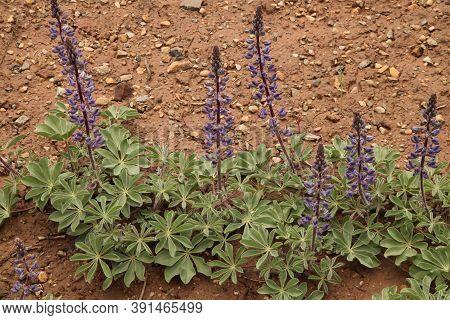 Lupine (lupinus) Purple Wildflower In Mesa Verde National Park, Colorado