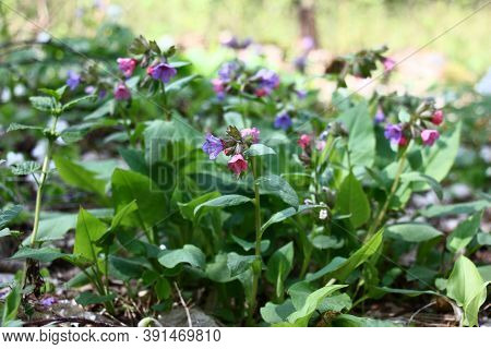 Spring Sunny Day In The Wood. On The Edge Of A Glade The Wild Pulmonaria Modestly Blossoms.