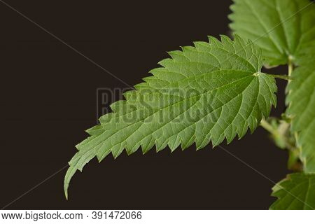 Green Fresh Stinging Nettle Leaves On Black Background. Copy Space. Can Use As Banner