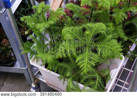 Araucaria Plant On Flowerpot For Sale In The Store. Choosing Plants House