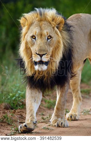 Big Male Lion, African, Transvaal Or The Southeast African Lion (panthera Leo Krugeri) With Black Ma