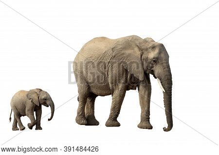 African Elephant Female With Baby Isolated On White Background, Graphic Object