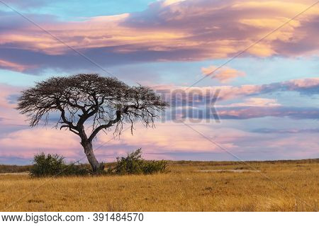 Pink African Sunset Over Acacia Tree, Nature Wilderness Scene, Africa Safari