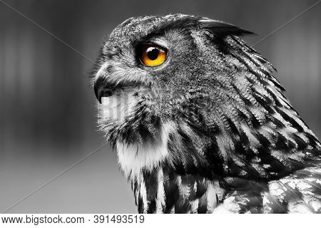 Black And White Detail Portrait Owl. Favorite Owl Taken From A Profile. Owl Know As Bubo Bubo. Monoc