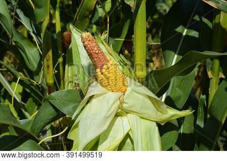 A Close-up On A Corn Stalk With The Corn Ear, Corn Cob That Misses Kernels On The Tip Because Of Bad