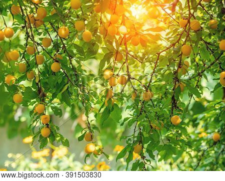 Branches Of Plums Tree With Ripe Yellow Plums In The Orchard. Nature Background. Plum Orchard In Sum