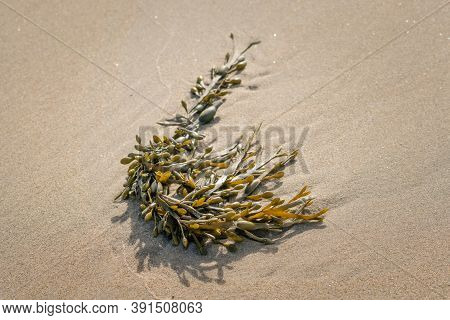 A Seaweed, Named Black Tang, Bladder Fucus, Bladder Wrack, Cut Weed, Dyers Fucus, Red Fucus, Rock Wr