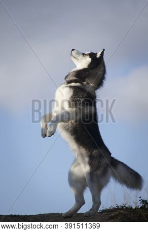 Fleecy Grey And White Dog Of Siberian Husky Breed Standing Upright By A Summer Sky Outdoors