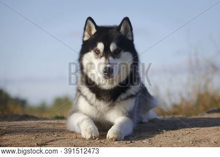 Portrait Of A Laying Fleecy Grey And White Dog Of Siberian Husky Breed Outdoors In His Best Looking