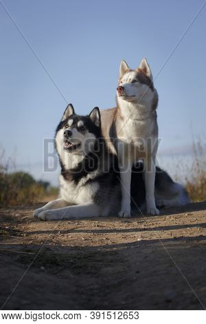 Siberian Husky Breed Fleecy Dogs Couple On A Summer Hill Ground By A Clear Sky Looking Upwards