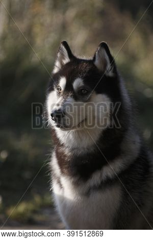 Portrait Of Fleecy Grey And White Dog Of Siberian Husky Breed Amidst Tall Summer Meadow Grass